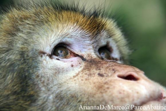 Gaetano, un macaco berbero salvato
