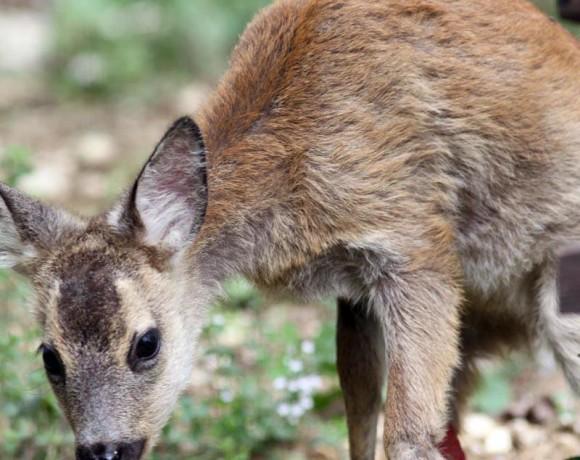 Okapi cucciolo di capriolo ferito da una falciatrice