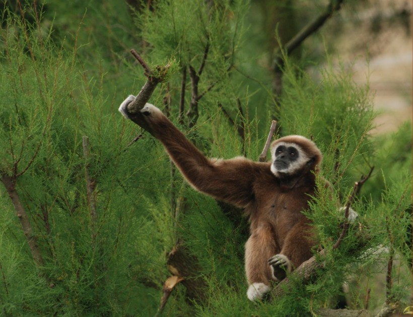 Gibbone dalle mani bianche (Hylobates lar)