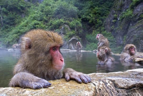Macachi del Giappone (Macaca fuscata)