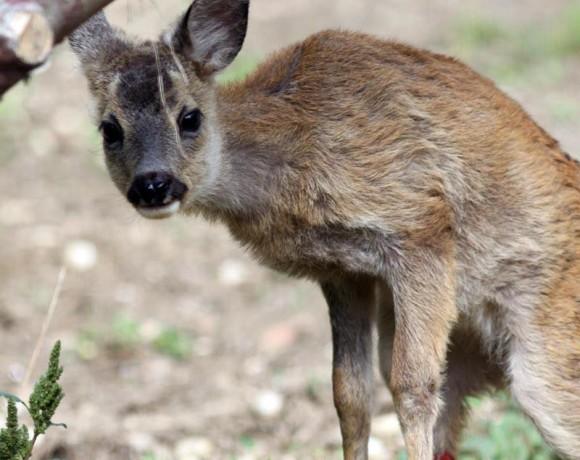 Okapi cucciolo di capriolo