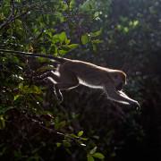 Macachi di Java (Macaca fascicularis)